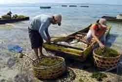 Kendari Bangun Kebun Bibit Rumput Laut